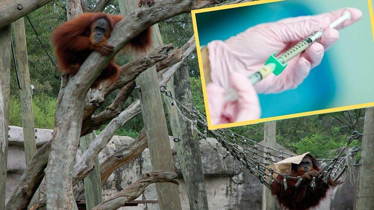 Małpy zostaną zaszczepione w pierwszej kolejności (fot. Brett Rosenbach, wikipedia)