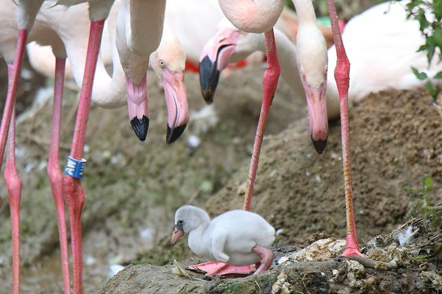 To pierwsze narodziny flaminga w gdańskim zoo