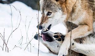 Zdaniem hodowcy matka uczyła młode wilki polować