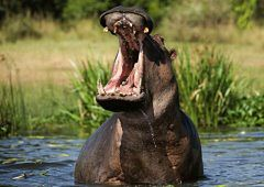 Botswana - hipopotam ściga łódkę