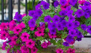 Rośliny balkonowe: surfinie - pielęgnacja, uprawa, sadzenie