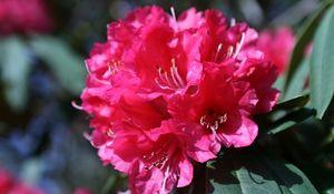 Rododendron: uprawa i pielęgnacja. Azalie w ogrodzie