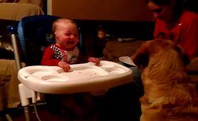 Labrador próbuje ''przekonać'' dziecko do jedzenia groszku. Efekt był inny od planowanego