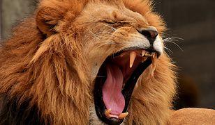 Polował na nosorożce. Stratował go słoń i zjadły lwy