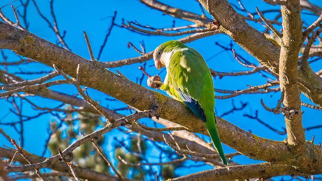 Zabiją tysiące papug. Zagrażają różnorodności biologicznej Madrytu