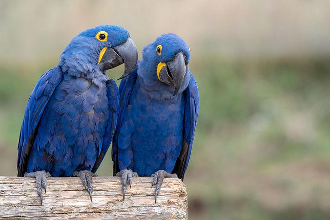 Wymierają najpiękniejsze ptaki. Ara modrej nie spotkamy już poza zoo