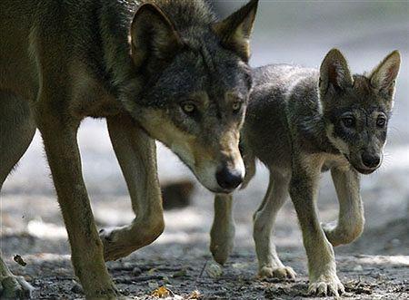 Wilk przepłynął Odrę i przedziera się przez Polskę
