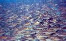 Ryby dzięki GDOS wygrały z Elektrownią Północ