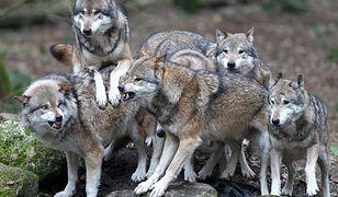 Podkarpackie. Wilki zaatakowały pilarzy (Źródło: PAP)