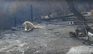 Kalifornia: Pies czekał na właścicieli przy ruinach spalonego domu