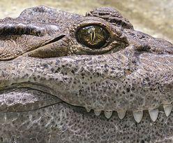 """Był """"szefem rzeki"""". Największy krokodyl, jakiego nosiła Australia"""