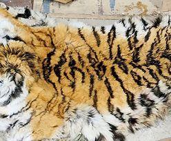 Zwłoki tygrysa syberyjskiego. Na świecie jest ich 600
