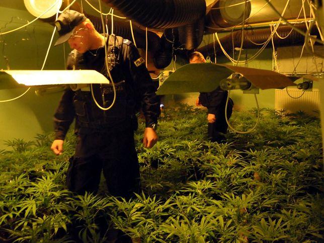 900 krzewów konopi i 20 kg marihuany. Policjanci zlikwidowali nielegalną plantację [WIDEO]