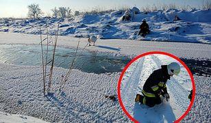 Warmińsko-mazurskie. Strażacy ratowali łabędzie na zamarzniętych zbiornikach