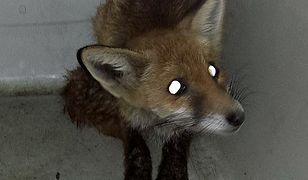 Wola: młody lis w galerii handlowej. Kolejna interwencja Patrolu Eko