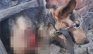Świdnica. Sołtyska wsi Wirki ciągnęła psa na haku za samochodem. Gmina ubolewa nad tym, co się stało