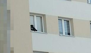 Lubin. Pies na parapecie na 9. piętrze. Nieodpowiedzialny właściciel za kratkami