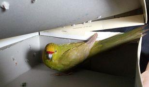 """Strażnicy miejscy zaopiekowali się papugą """"podróżniczką"""""""