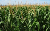Dokarmianie kukurydzy makro i mikroelementami
