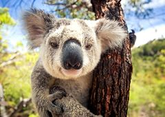 Australia - groźne spotkanie z koalą