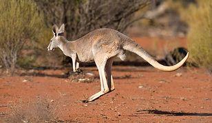 10 lat więzienia dla nastolatka z Australii za planowanie zamachu. Chciał zamontować pas szahida na kangurze