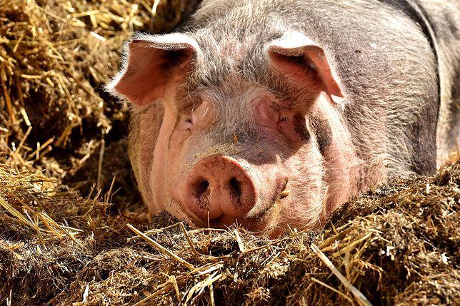 W hodowli trzody chlewnej w Wielkopolsce wykryto ognisko ASF. Do wybicia 3 tys. świń