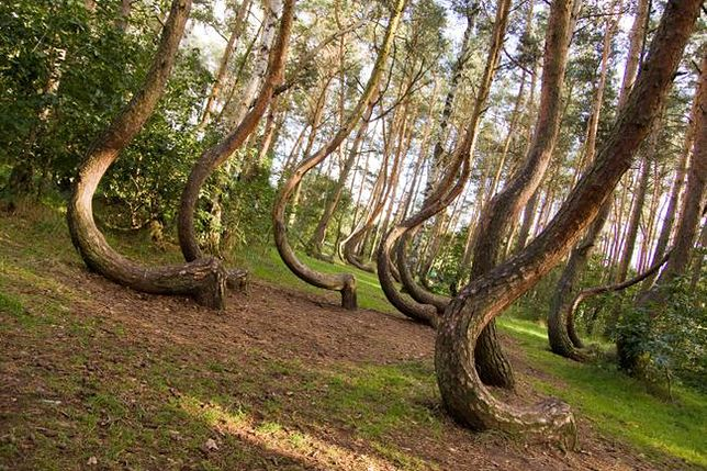 Cuda przyrody - Krzywy las pod Gryfinem
