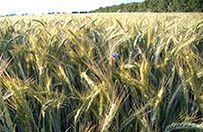 Jesienne nawożenie gwarancją plonu zbóż ozimych