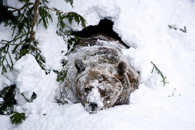 Niedźwiedzie obudziły się w Bieszczadach. Leśnicy: mogą być groźne