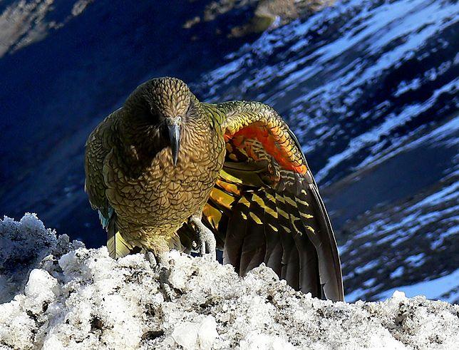 Papuga Kea przybiera równie majestatyczne pozy, co orzeł