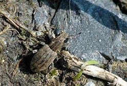 Turyści skarżą się na uciążliwego owada. Atakuje na pomorskich plażach