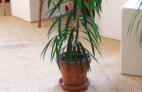 Trujące rośliny doniczkowe - czy masz je w swoim domu?