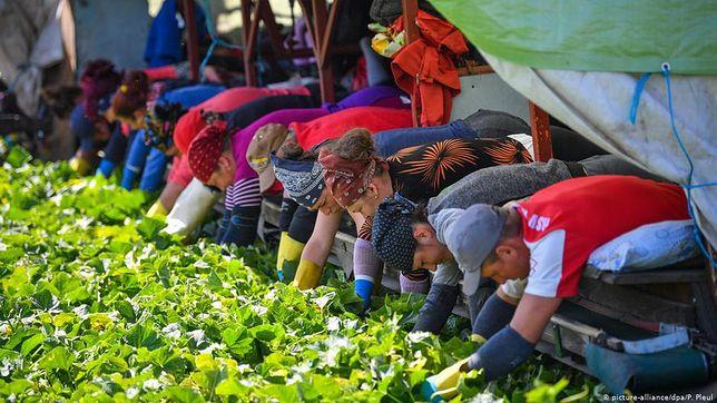 Niemcy. 174 zarażonych koronawirusem w gospodarstwie rolnym w Bawarii