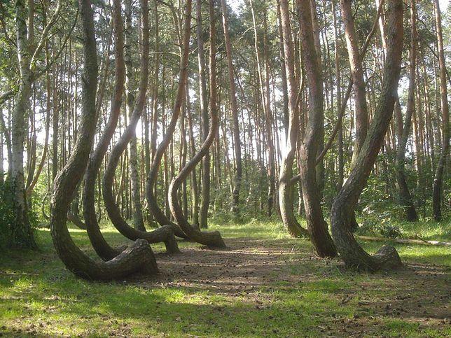 Krzywy Las, zdjęcia ilustracyjne