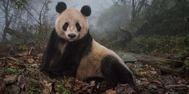 "Panda. Atrakcja ""made in China"""