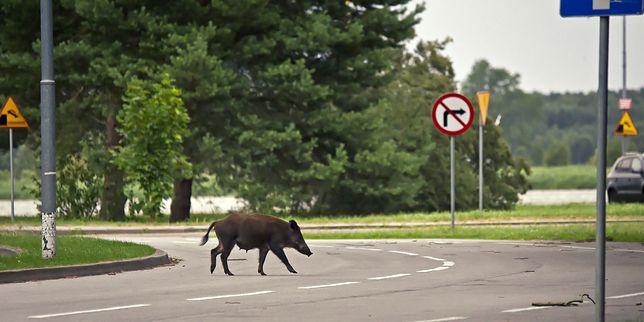 Dziki na ulicach europejskich miast to coraz częstszy widok (zdjęcie ilustracyjne)