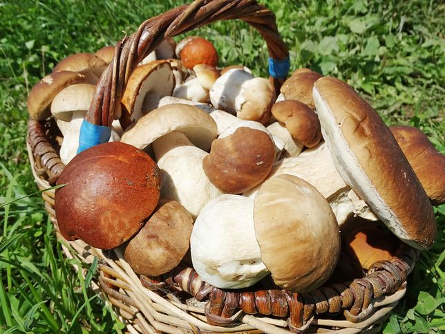 Grzybiarze w Zachodniopomorskiem nie zarobią na swoim hobby, bo grzybów... jest za dużo