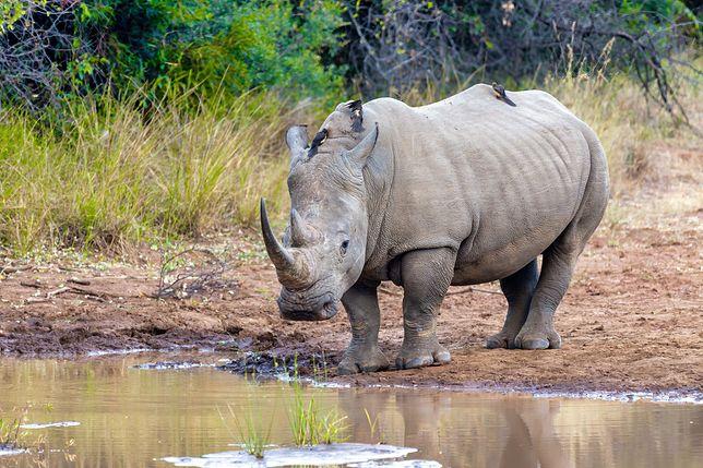 Nosorożec, zdjęcie ilustracyjne