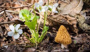Naparstniczka czeska, jeden z trzech nowych grzybów na liście.