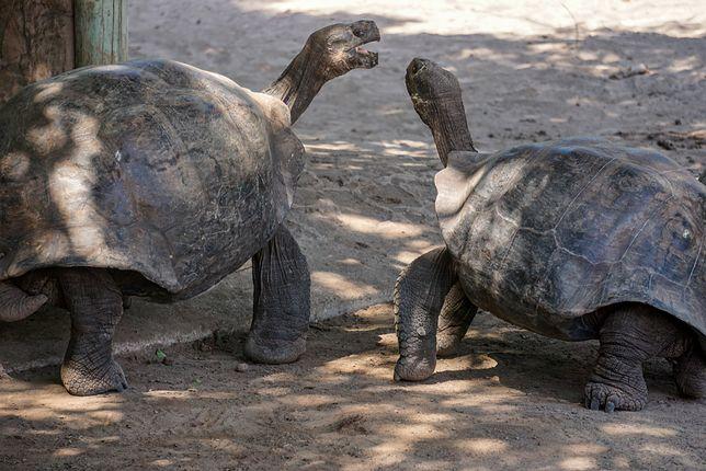 Żółw olbrzymi z Galapagos jest największym znanym gatunkiem żółwia i jednym z siedmiu najdłużej żyjących kręgowców