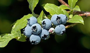 Owoce borówki amerykańskiej są większe od owoców innych odmian borówek