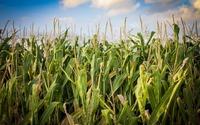 Startowe nawożenie kukurydzy