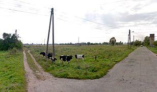 We wsi Jeżyki pod Gorzowem Wielkopolskim wypasanie bydła jest na porządku dziennym