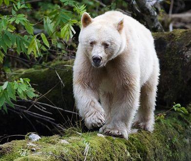 Niewielka populacja białych niedźwiedzi (ok. 150) żyje na terenie wysp kanadyjskiego morskiego archipelagu Great Bear Rainforest