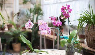 Jeśli twój storczyk nie kwitnie, wprowadź kilka zmian w jego pielęgnacji