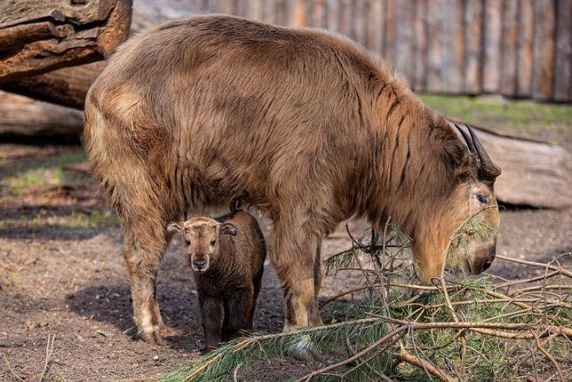 Takiny złote należą do największych przedstawicieli w grupie kóz i owiec