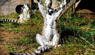 Lemur katta w zoo w chińskim Qingdao.