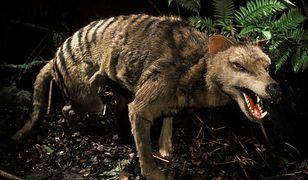 Zagadkowy tygrys tasmański.