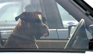 Pies może ważyć w samochodzie 450 kg