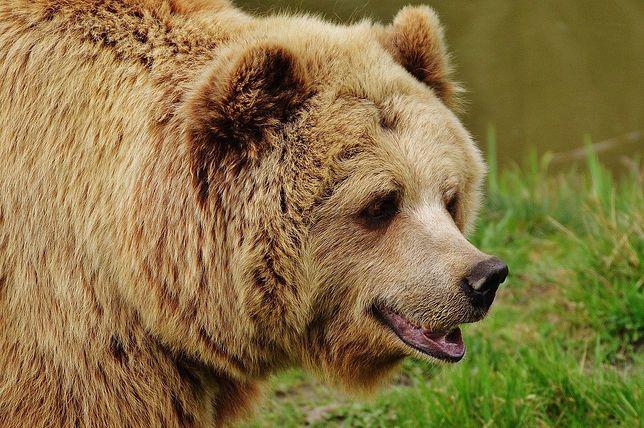 Tragedia w USA. Kobieta w trakcie spaceru spotkała niedźwiedzie (zdjęcie ilustracyjne)
